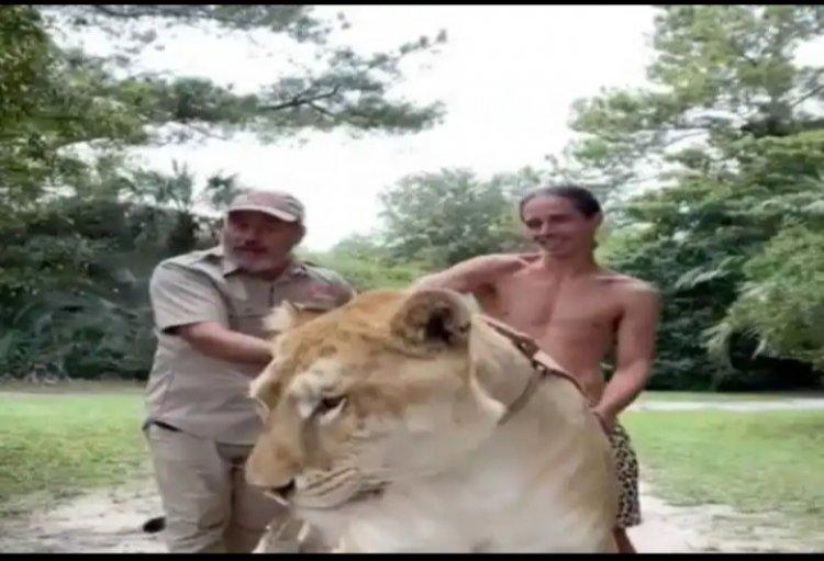 शेर और बाघिन के मिलन से पैदा हुई दुनिया की सबसे बड़ी बिल्ली, 5 मिनट में कर सकती है इंसान को चट